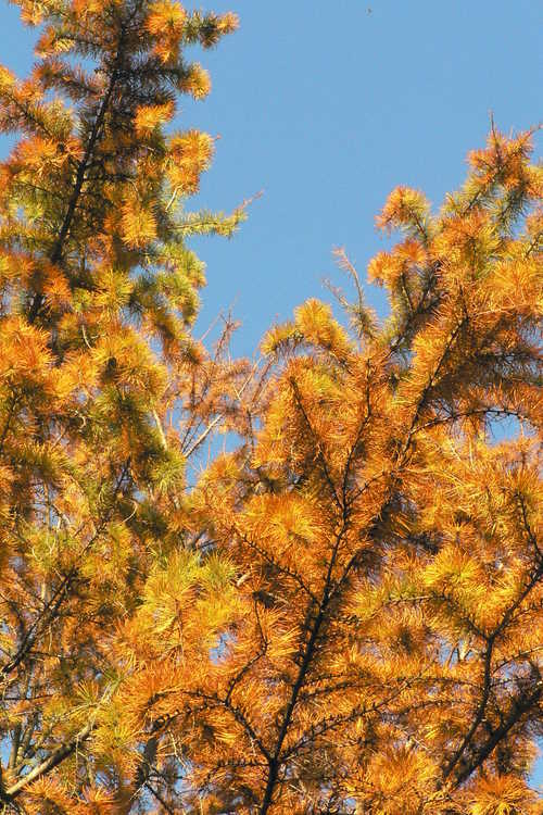 Pseudolarix amabilis (golden larch)