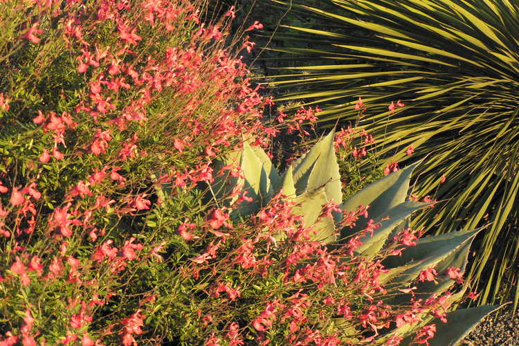 Agave ovatifolia (whale's tongue agave) and Salvia greggii 'Lipstick' (autumn sage) - Scree Garden