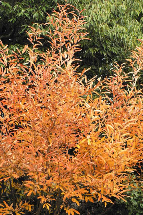 Lindera angustifolia (narrowleaf spicebush)
