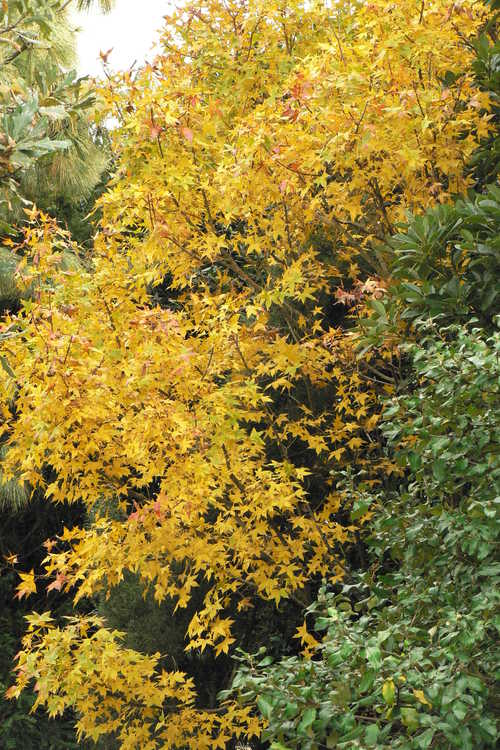 Acer truncatum (Shantung maple)