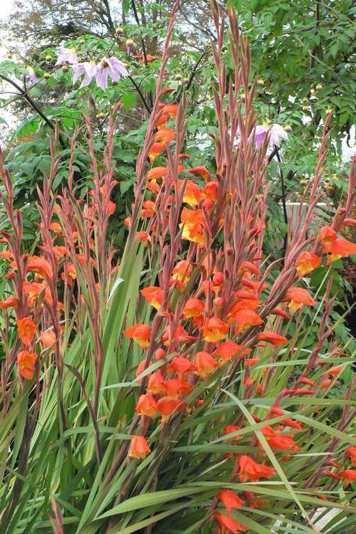 Gladiolus dalenii 'Halloweenie' (parrot beak gladiolus)