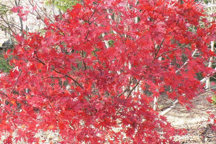 Acer palmatum 'Ô kagami' (purple-leaf Japanese maple)