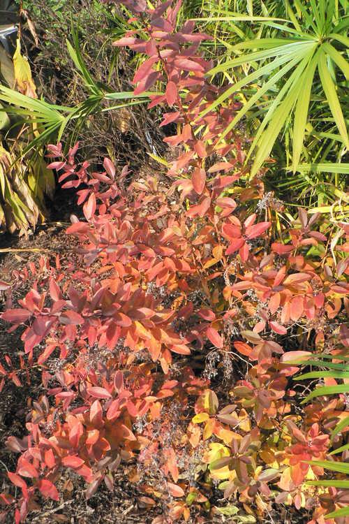Zenobia pulverulenta 'Raspberry Ripple' (dusty zenobia)