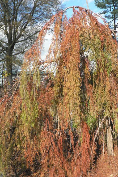 Taxodium distichum 'Cascade Falls' (weeping bald cypress)