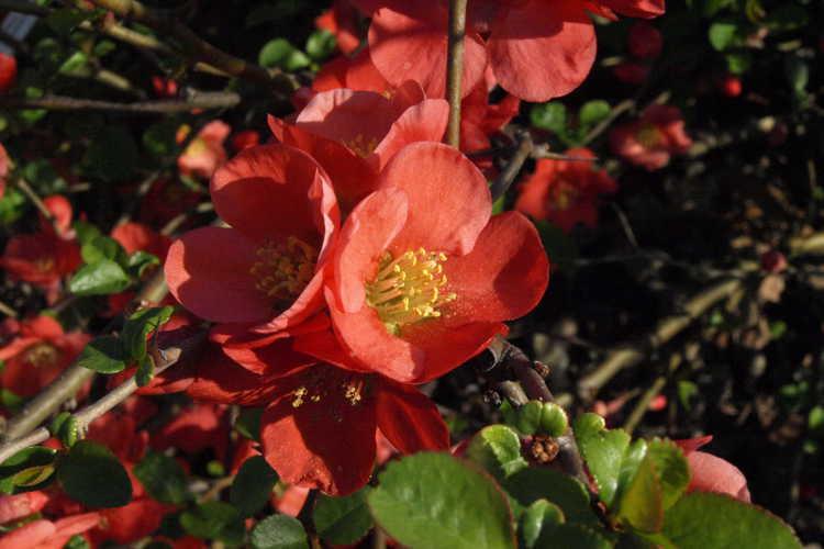 Chaenomeles japonica 'Utamaro' (Japanese flowering quince)
