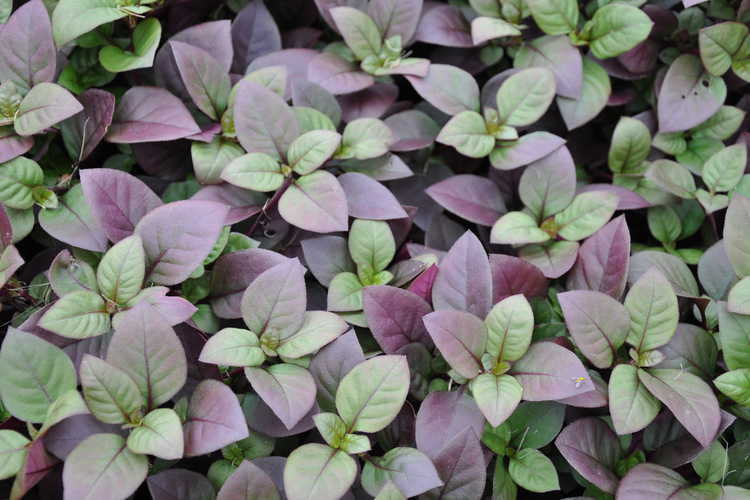 Alternanthera dentata 'Little Ruby' (Joseph's coat)