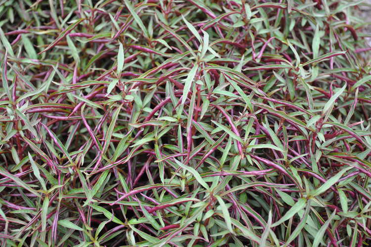 Alternanthera dentata 'Red Threads'