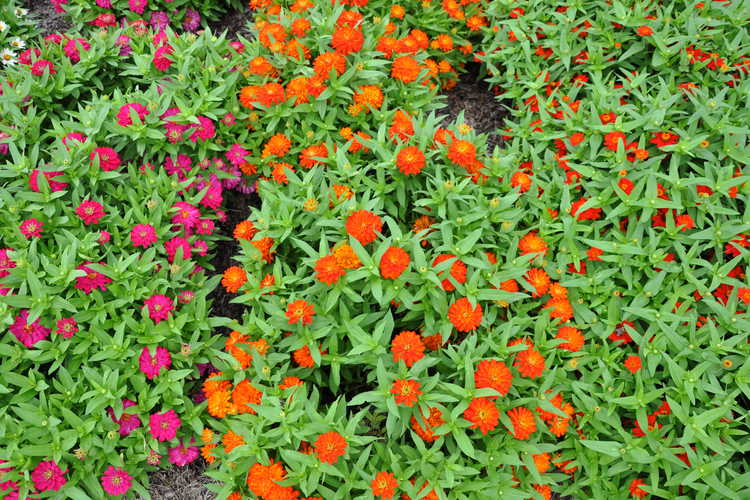 Zinnia 'Profusion Knee High Red', 'Double Zahara Cherry', and 'Double Zahara Fire'