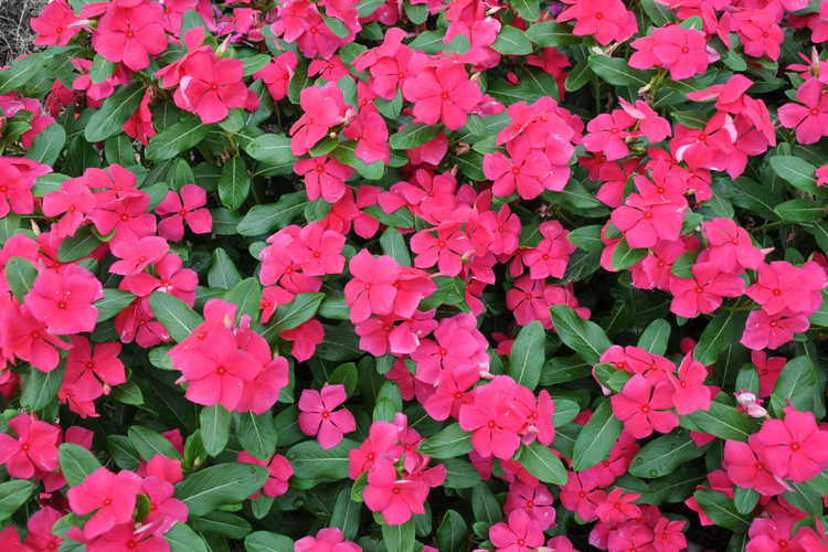 Catharanthus roseus  'Red Mountain'