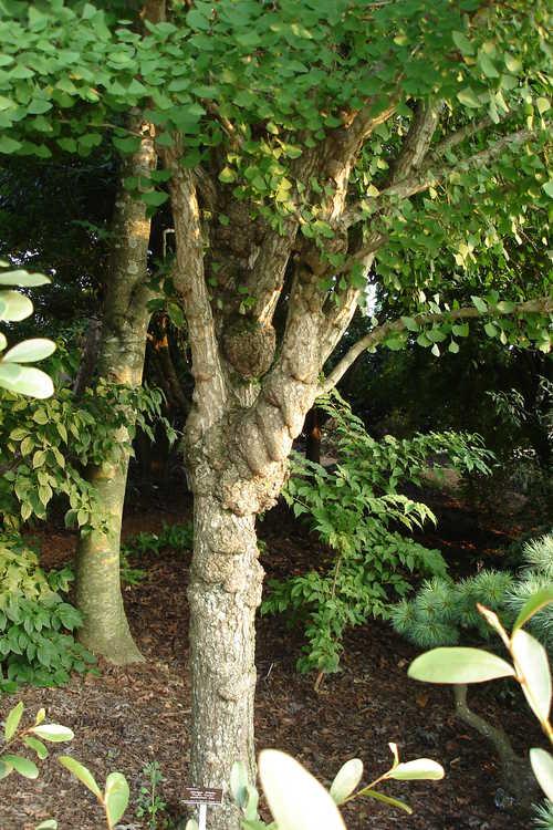 Ginkgo biloba 'Tschi Tschi' (maidenhair tree)