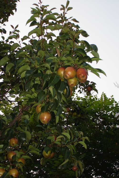 Pyrus 'Ohara Beni' (hybrid pear)