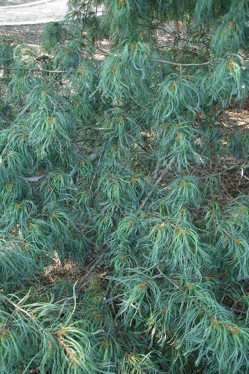 Pinus strobus 'Torulosa' (curly-leaf eastern white pine)