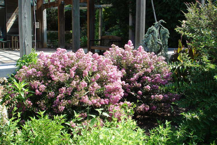 Lagerstroemia 'Gamad V' (Dazzle® Me Pink compact crepe myrtle)