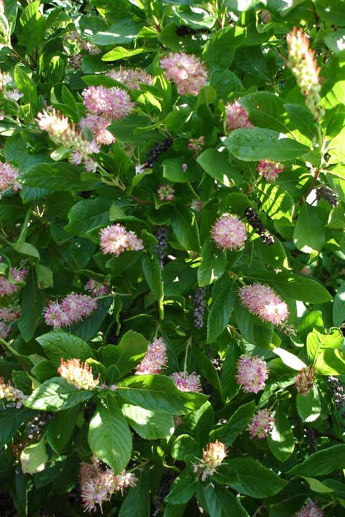 Clethra alnifolia 'Ruby Spice' (rosy summersweet clethra)