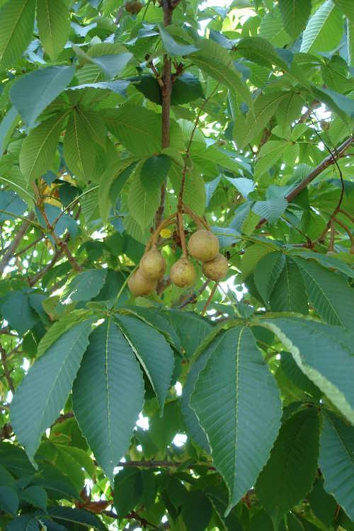 Aesculus turbinata (Japanese horse chestnut)