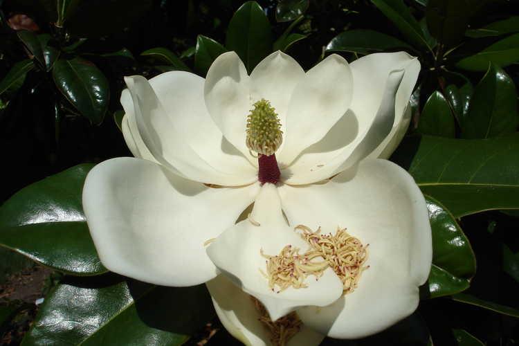 Magnolia grandiflora (variegated form) (variegated Southern magnolia)