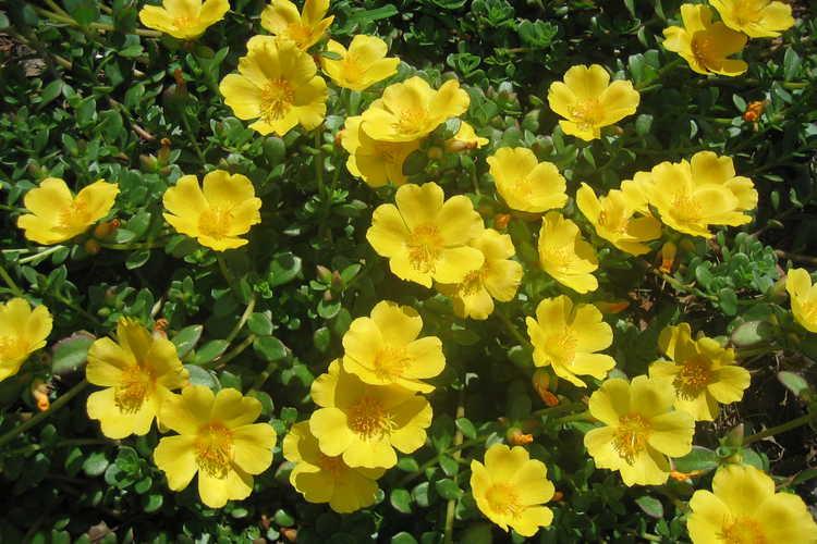 Pazazz Jumbo Yellow Portulaca