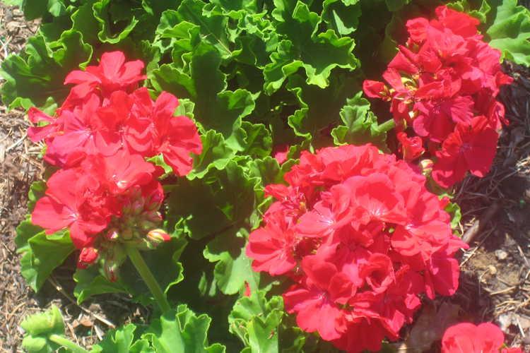 Pelargonium zonale  Rocky Mountain Magenta Geranium