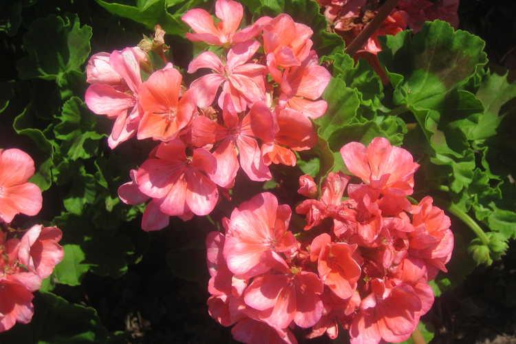 Pelargonium ×hortorum Abigail Geranium