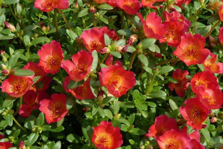 Portulaca oleracea Pazazz Red Flare