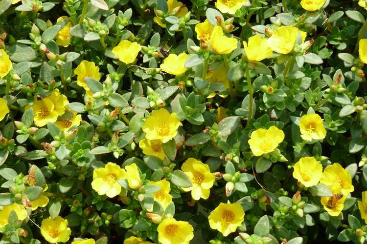 Portulaca oleracea  Pazazz Jumbo Yellow