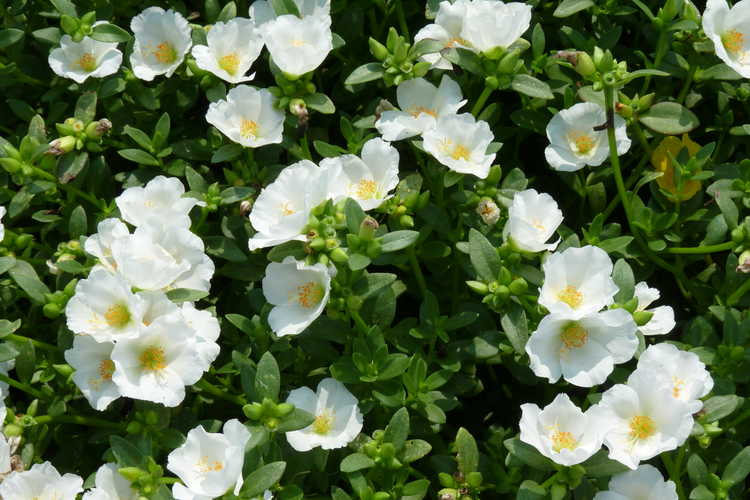 Portulaca oleracea Pazazz Jumbo White