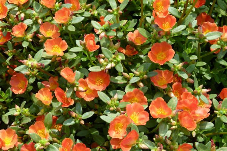 Portulaca oleracea Pazazz Tangerine