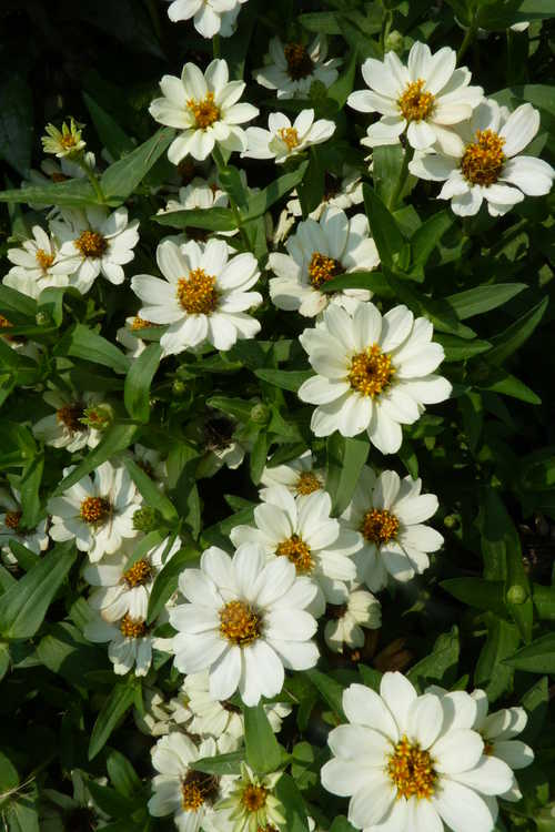 Zinnia 'Profusion Knee- High White'