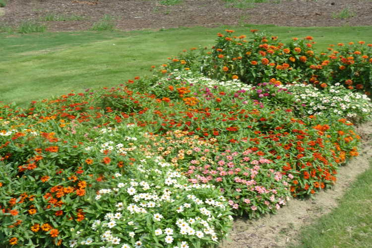 Annual Color Trials Zinnia Beds