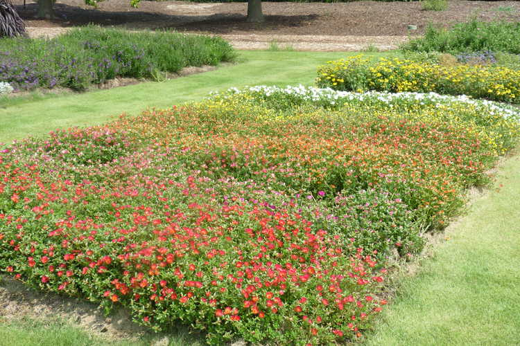 Annual Color Trials Purslane Beds