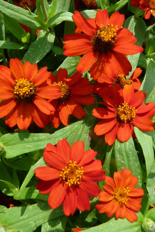 Zinnia' Profusion Knee High Red'