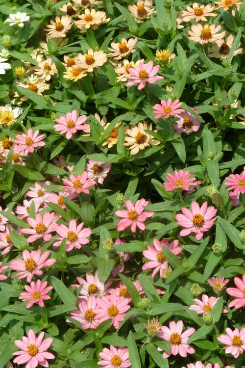 Zinnia 'Profusion 7 Color Mix'