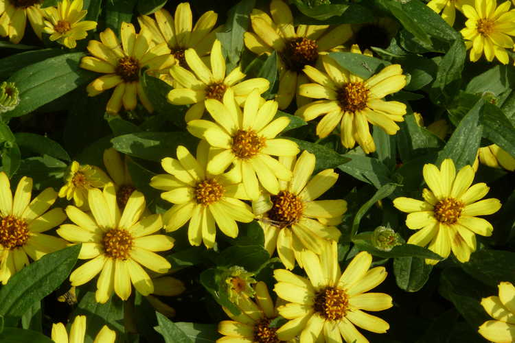 Zinnia 'Profusion Sunrise Mix'