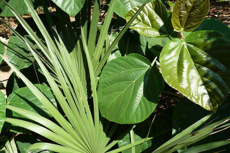 Ficus auriculata (elephant ear fig) and Sabal ×brazoriensis (hybrid palmetto)