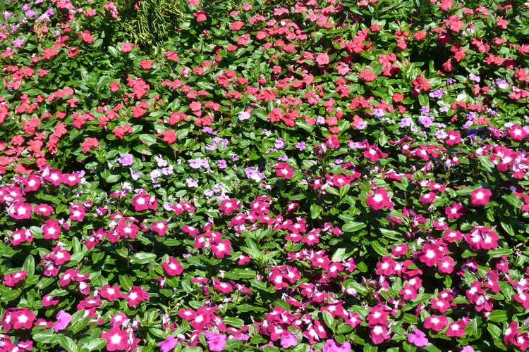 Catharanthus roseus (Madagascar periwinkle)