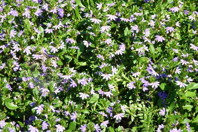 Scaevola aemula 'Scala Blue' - fan flower  Scaevola aemula Scala Blue