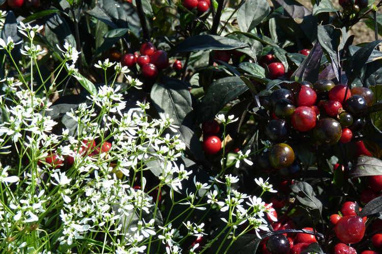 Capsicum annuum 'Black Pearl' (ornamental pepper) and Euphorbia 'White Manaus'