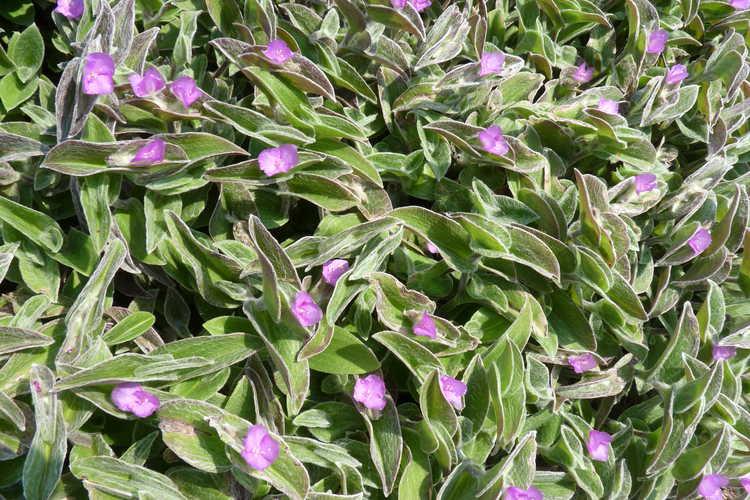 Tradescantia sillamontana (white velvet tradescantia)