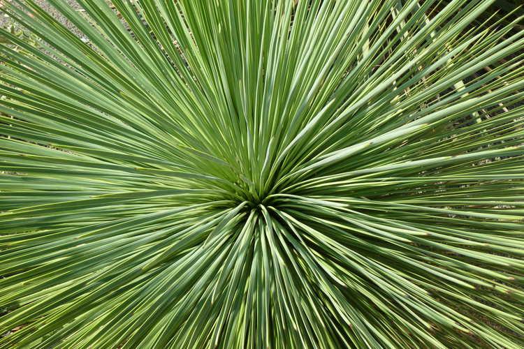 Yucca linearifolia (narrow leaf yucca)
