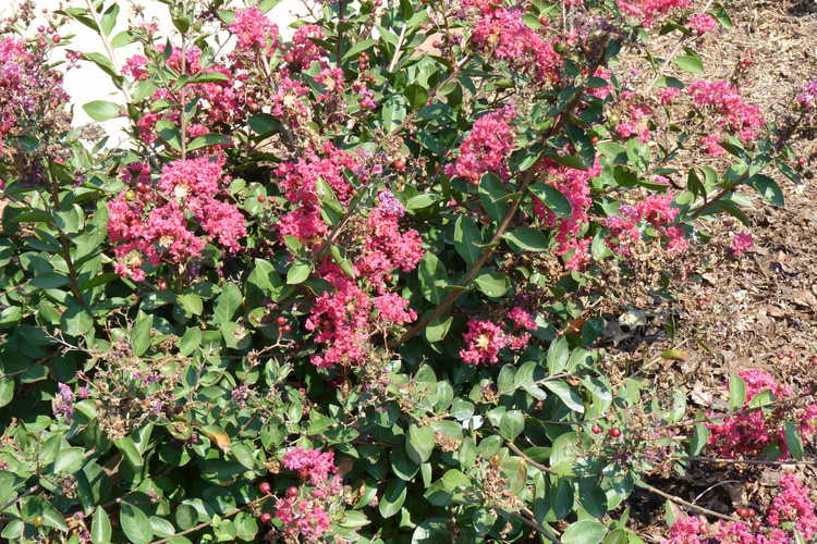 Lagerstroemia indica 'Red Filli' (miniature crepe myrtle)