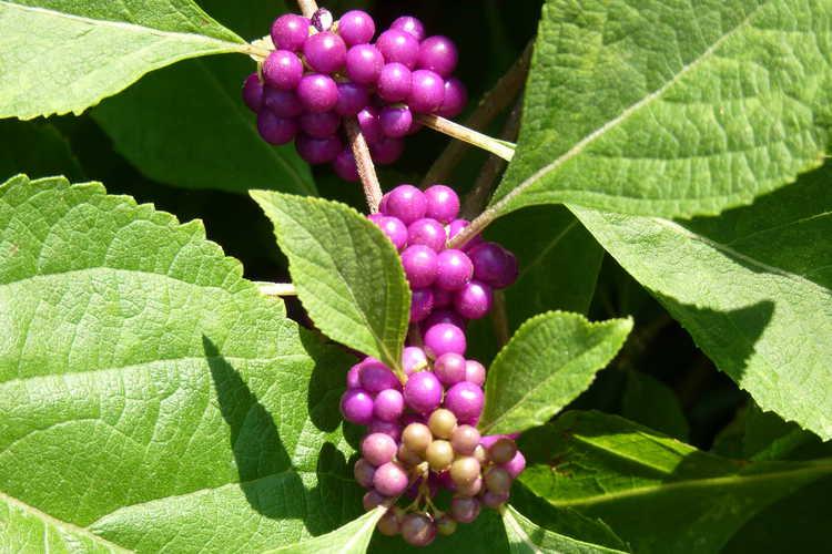 Callicarpa americana 'Berries and Cream' (variegated American beautyberry)