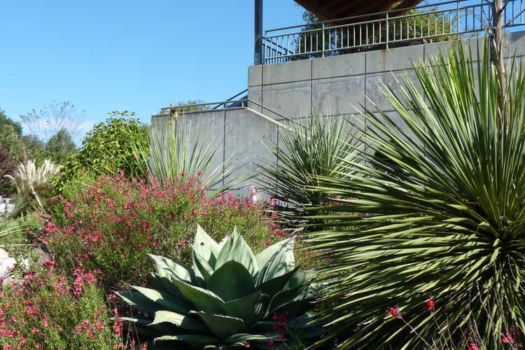 Agave ovatifolia (whale's tongue agave) and Salvia greggii 'Lipstick' (autumn sage) and Yucca thompsoniana (Trans Pecos yucca)