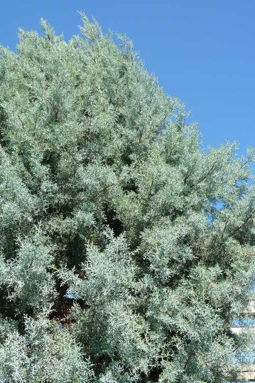 Cupressus arizonica 'Sapphire Skies' (Arizona cypress)