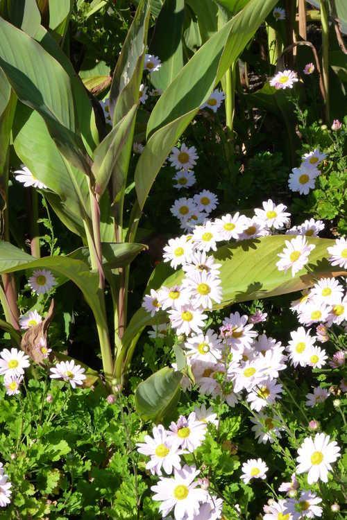 Chrysanthemum (Elizabeth Lawrence pink) (garden chrysanthemum)