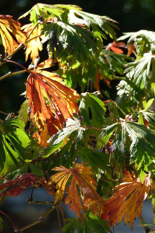 Acer japonicum 'Aconitifolium' (cut-leaf full moon maple)
