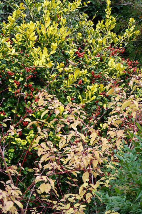 Cornus sanguinea 'Anny's Winter Orange' (bloodtwig dogwood) and Ilex cornuta 'Sunrise' (golden Chinese holly)