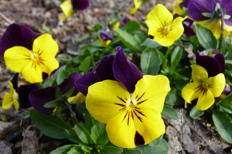 Pansy Sorbet Xp Yellow Duet