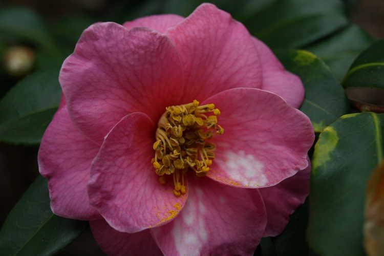 Camellia ×vernalis 'Shibori Egao' (hybrid camellia)