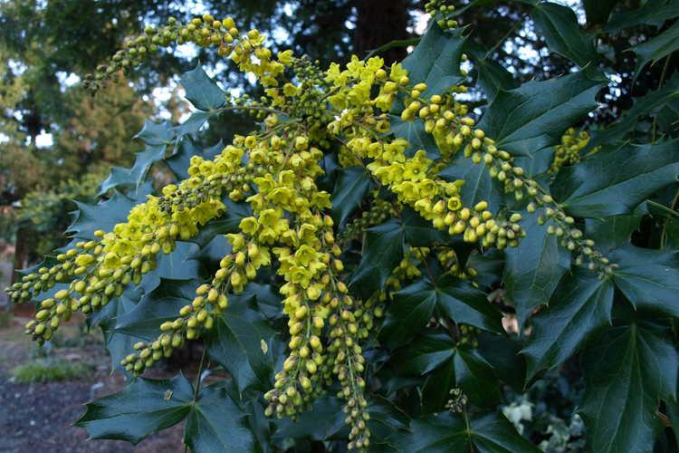 Mahonia ×lindsayae 'Cantab' (hybrid mahonia)