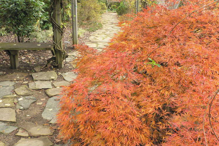 Acer palmatum 'Pendulum Julian' (red lace-leaf Japanese maple)